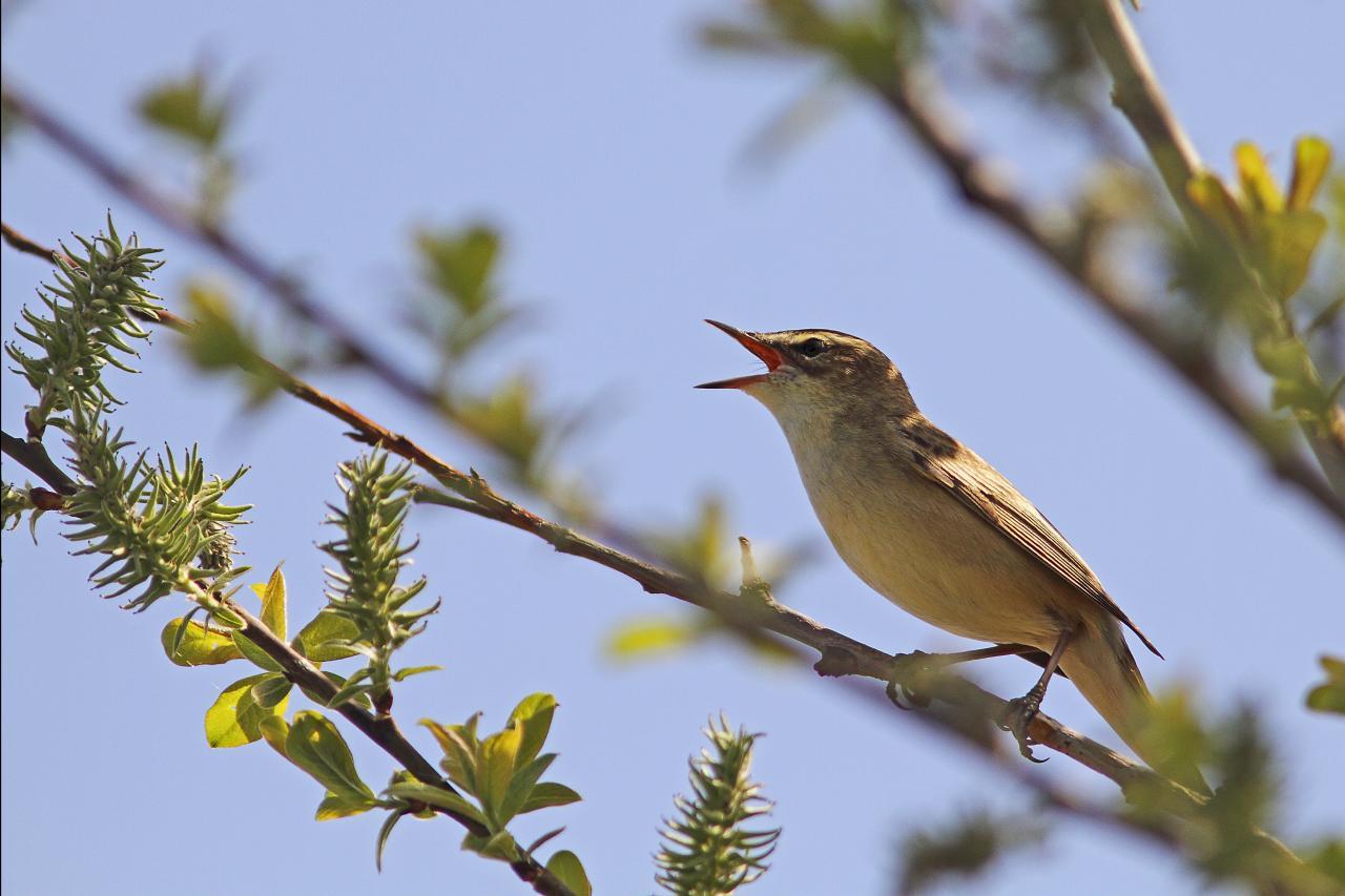 Oiseaux des bois et jardins for Jardin des oiseaux