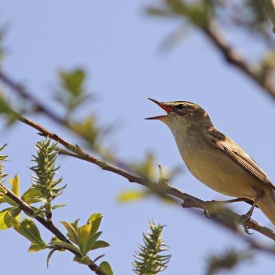 Oiseaux des bois  et jardins