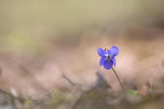 Timide violette
