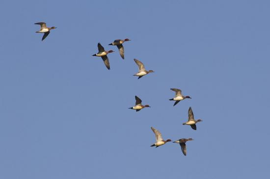 Une escadrille de canards siffleurs