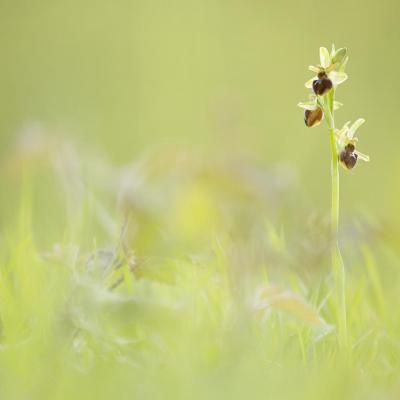 Ophrys du mont Canisy