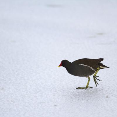 Une poule d'eau à la patinoire