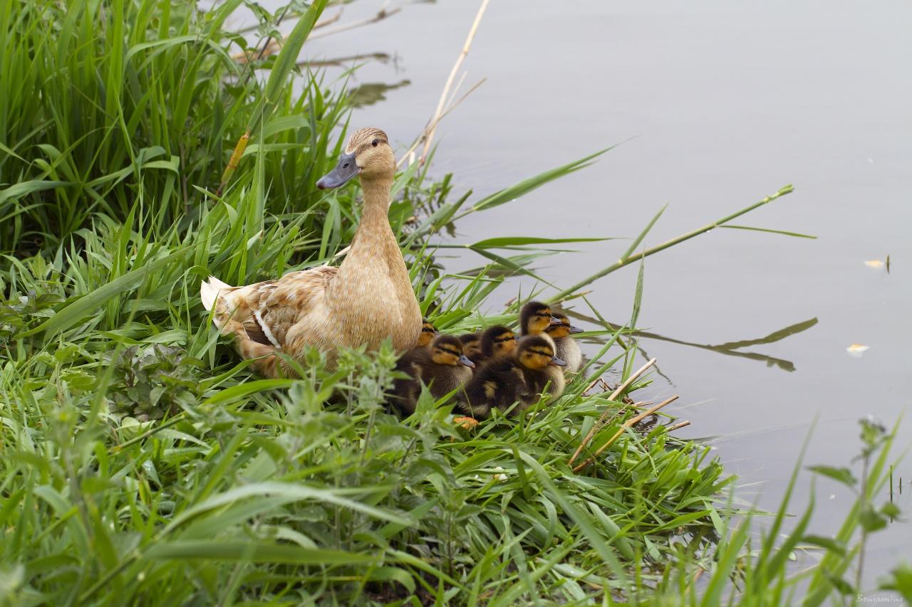 la famille canard -2011 -  première sortie