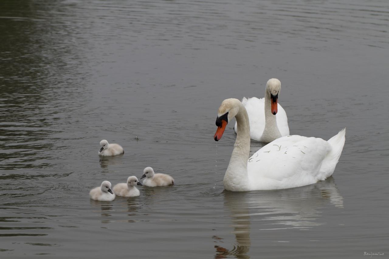 La famille cygne - portée 2011 - Première promenade en famille
