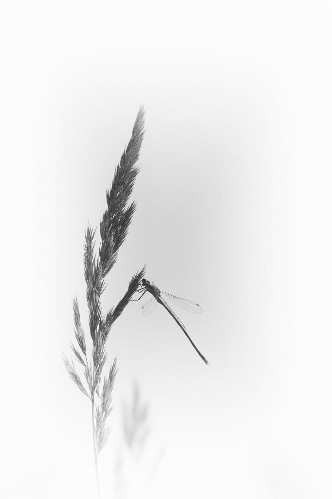 Agrionnade