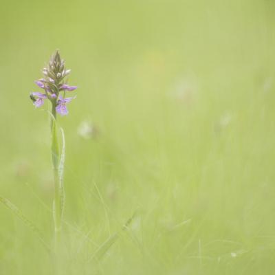 Orchis tacheté
