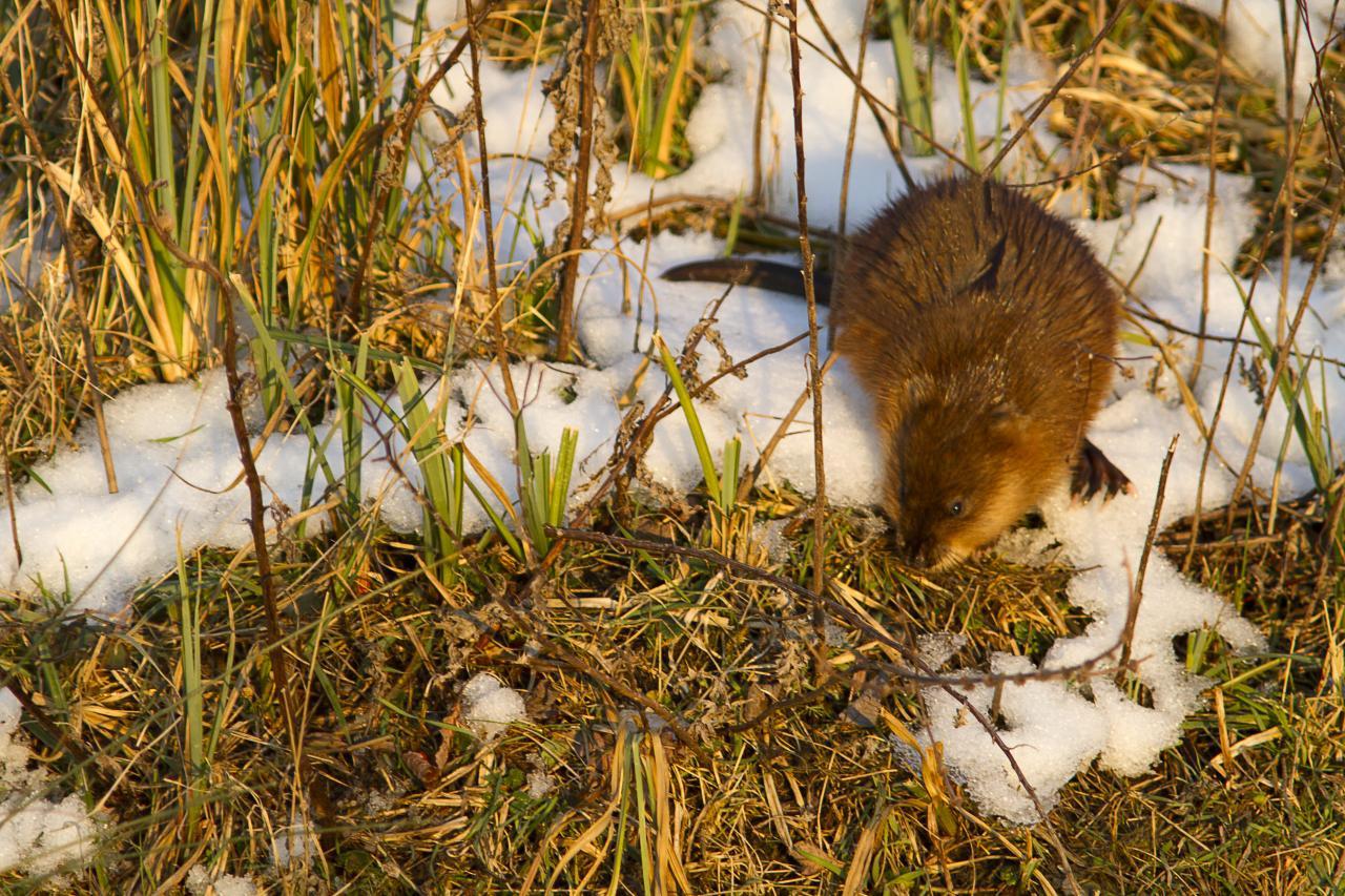 Un ragondin sous la neige