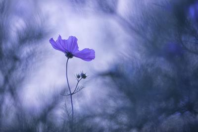 Bns 03 bluedream fl